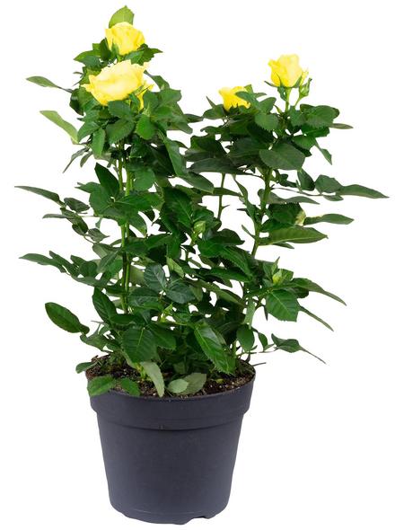 Rose, Rosa, Blüte: gelb