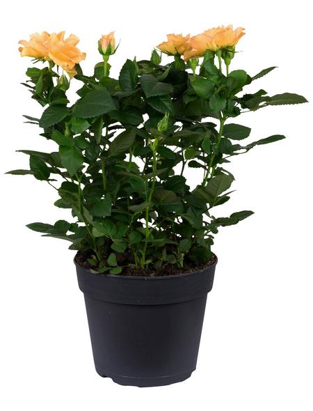 Rose, Rosa, Blüte: orange