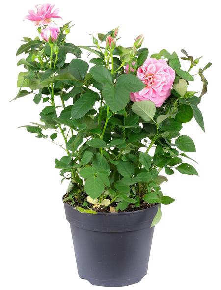 Rose, Rosa, Blüte: rosa
