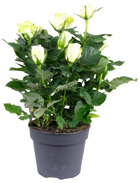Rose, Rosa, Blüte: weiß