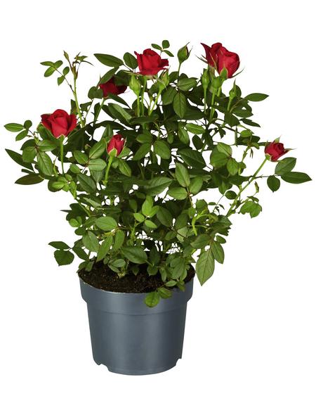 GARTENKRONE Rose, Rosa hybrid, Blüte: rot