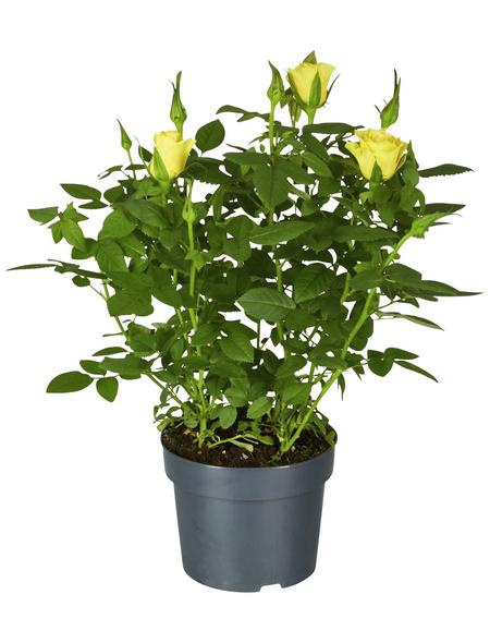 GARTENKRONE Rose »Rosa Hybrid«, Gelb