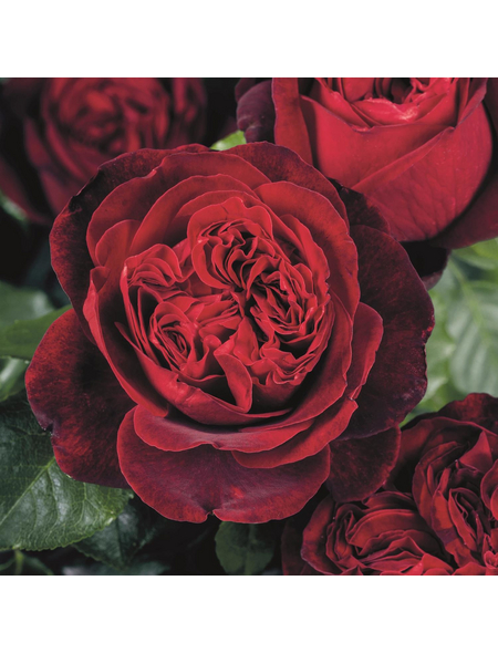 ROSEN TANTAU Rose Rosa x hybrida »Admiral«, Rot