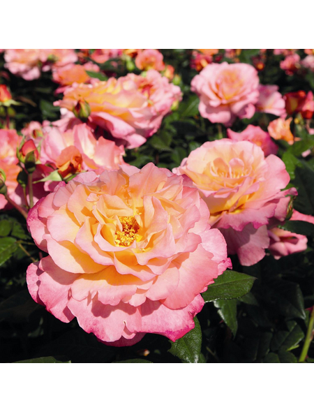 ROSEN TANTAU Rose, Rosa x hybrida »Aquarell«, Blüte: mehrfarbig, gefüllt