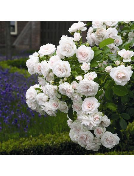 ROSEN TANTAU Rose Rosa X hybrida »Aspirin«, Weiß