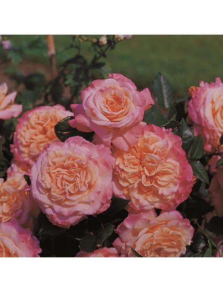 ROSEN TANTAU Rose Rosa X hybrida »Augusta Luise«, Rosa