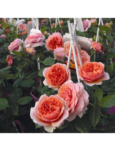 ROSEN TANTAU Rose Rosa X hybrida »Chippendale«, Orange