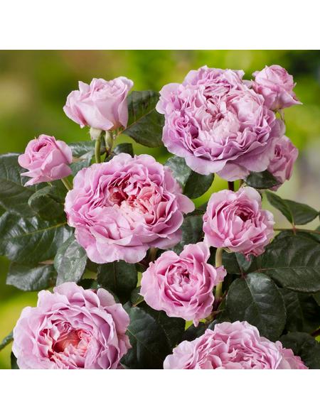 ROSEN TANTAU Rose Rosa x hybrida »Eisvogel«
