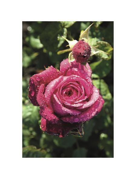 ROSEN TANTAU Rose Rosa x hybrida »Goethe«, Purpurpink