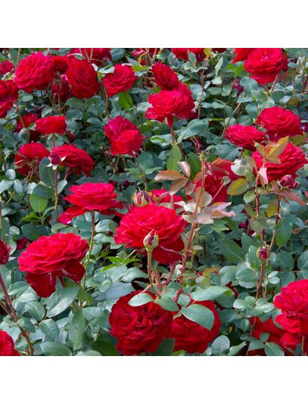 ROSEN TANTAU Rose Rosa x hybrida »Marlene«, Rot