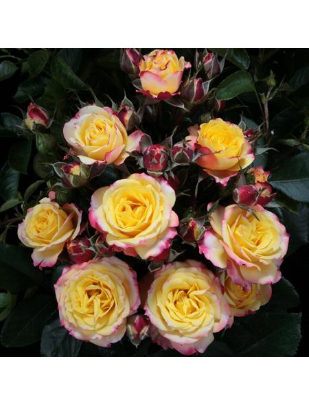 ROSEN TANTAU Rose, Rosa X hybride »Clementine«, Zweifarbig