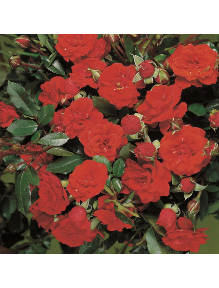 ROSEN TANTAU Rose Rosa X hybride »Orange Babyflor«, Zweifarbig