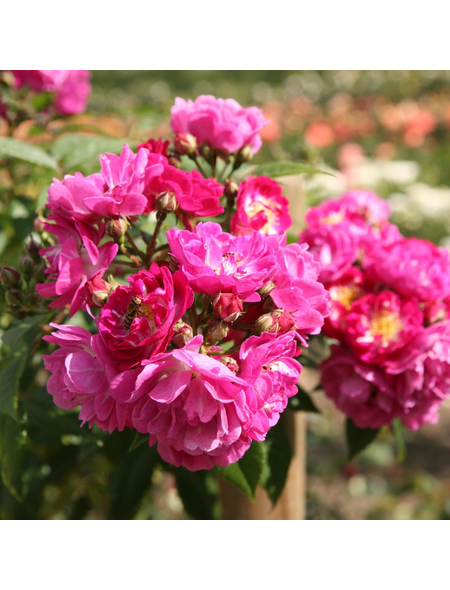 ROSEN TANTAU Rose Rosa X hybride »Perennial Blue«, Violett