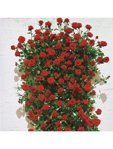 ROSEN TANTAU Rose, Rosa X hybride »Santana«, Dunkelrot