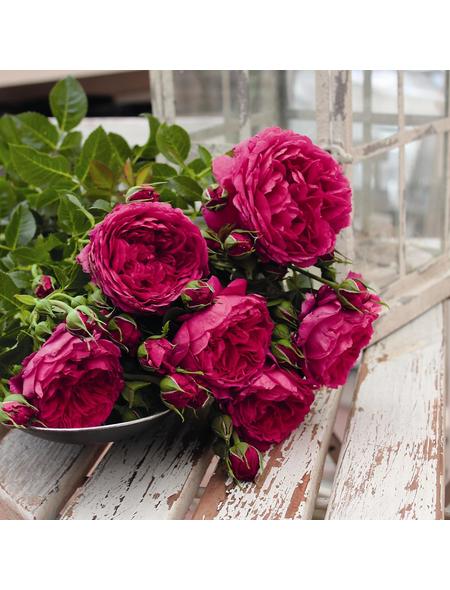 ROSEN TANTAU Rose Rosa X hybride »Soul®«, Violett