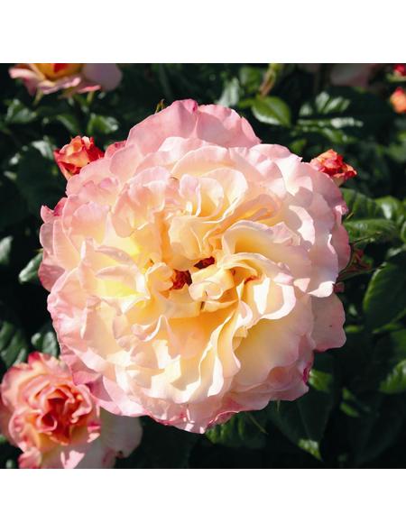 ROSEN TANTAU Rose Rose X hybrida »Aquarell«