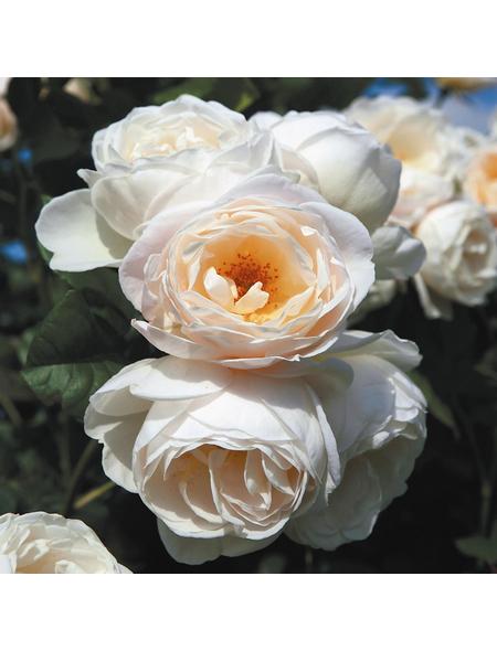 ROSEN TANTAU Rose »Uetersener Klosterrose«, Blüte: creme