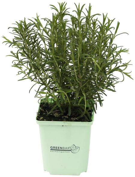 GREENBAR Rosmarin 3er Set, Rosmarinus Officinalis, Blütenfarbe: hellblau