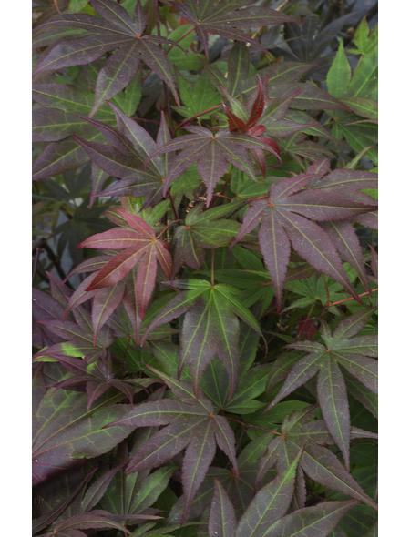 Rotblättriger Fächer-Ahorn, Acer palmatum »Atropurpureum «, Blattfarbe rot