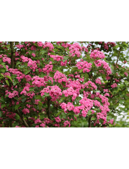 Rotdorn, Crataegus laevigata »Pauls Scarlet«, Blütenfarbe rot
