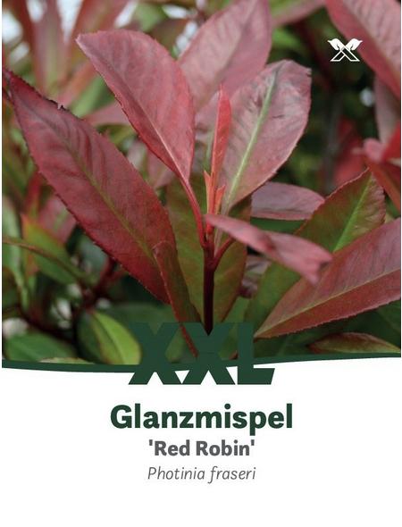Rote Glanzmispel, Photinia fraseri »Red Robin«, Blütenfarbe weiß