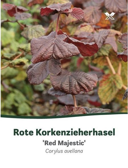 Rote Korkenzieherhasel, Corylus maxima »Red Majestic«, Blütenfarbe rot