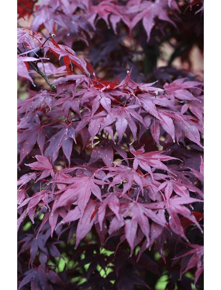 Roter Fächer-Ahorn, Acer palmatum »Bloodgood«, Blattfarbe rot