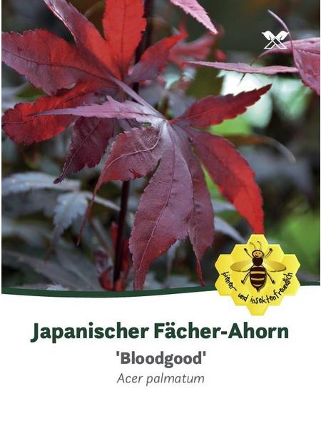 Roter Fächer-Ahorn, Acer palmatum »Bloodgood«, Blütenfarbe purpurfarben