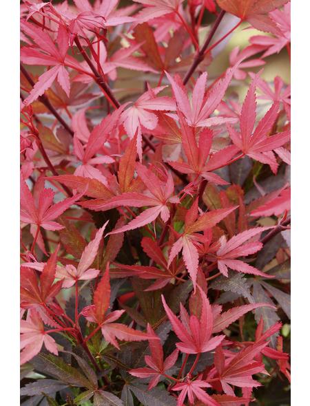 Roter Fächer-Ahorn, Acer palmatum »Shaina«, Blattfarbe mehrfarbig