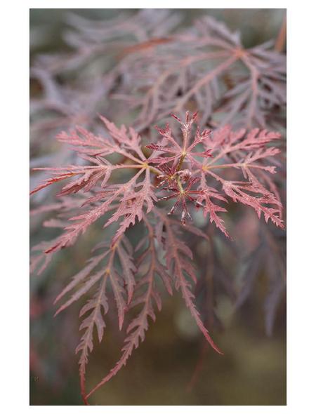 Roter Schlitz-Ahorn, Acer palmatum »Dissectum Tamukeyama«, Blattfarbe mehrfarbig