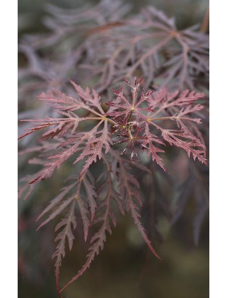 Roter Schlitz-Ahorn, Acer palmatum »Dissectum Tamukeyama«, Blattfarbe rot