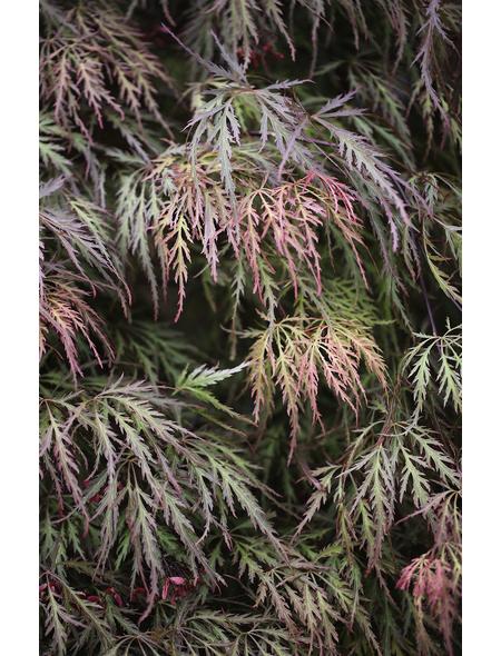 Roter Schlitzahorn, Acer palmatum »Dissectum Crimson Princess«, Blattfarbe rot