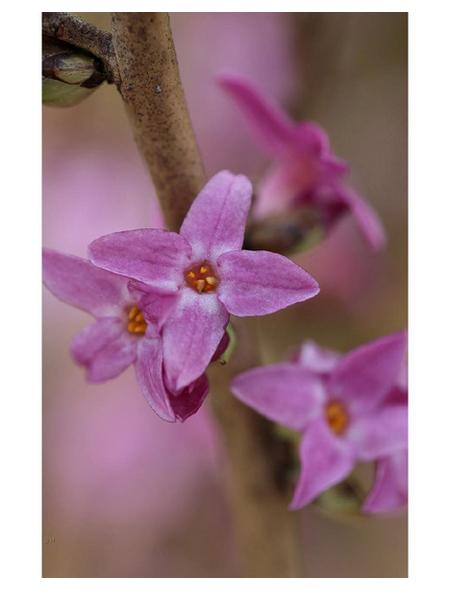 Roter Seidelbast, Daphne mezereum »Rubra Select«, Blütenfarbe dunkelrosa