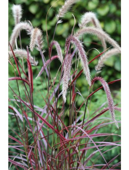 Rotes Lampenputzergras setaceum Pennisetum »Fireworks -R-«