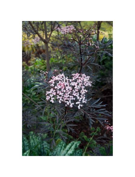 GARTENKRONE Rotlaubiger Holunder, Sambucus nigra »Black Lace «, weiß, winterhart