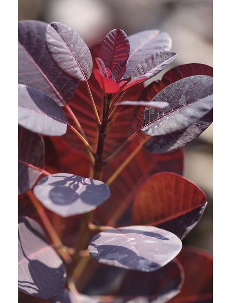 Rotlaubiger Perückenstrauch, Cotinus coggygria »Royal Purple«, Blütenfarbe rotbraun