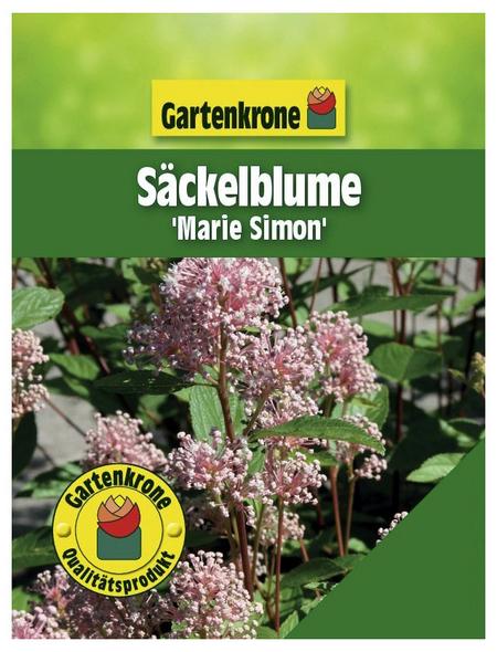 GARTENKRONE Säckelblume, Ceanothus pallidus »Marie Simon«, Blütenfarbe rosa/pink