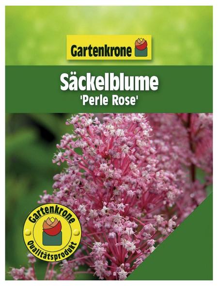 GARTENKRONE Säckelblume, Ceanothus pallidus »Perle Rose«, Blütenfarbe rosa/pink