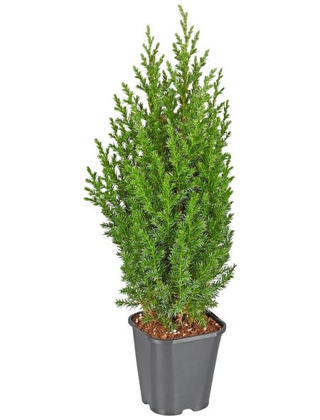 GARTENKRONE Säulen-Wacholder, Juniperus chinensis »Stricta«, winterhart