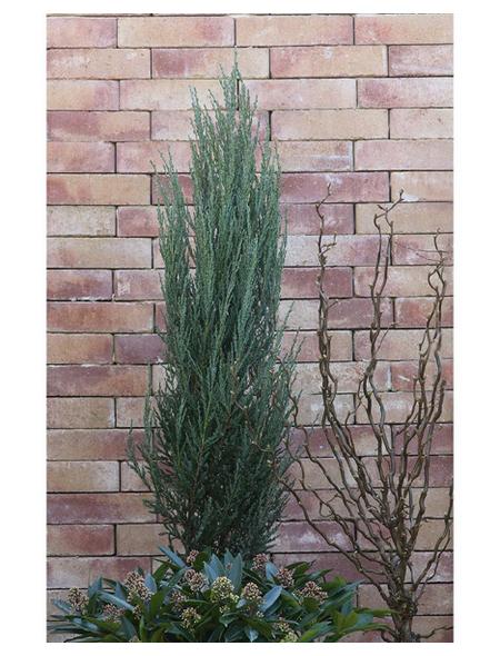 Säulen - Wacholder scopulorum Juniperus »Blue Arrow«