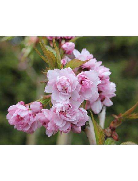 Säulenkirsche, Pruns serrulata »Amanogawa«, Blütenfarbe rosa