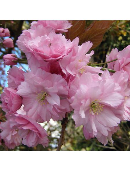 Säulenkirsche, Prunus serrulata »Amanogawa«, Blütenfarbe hellrosa