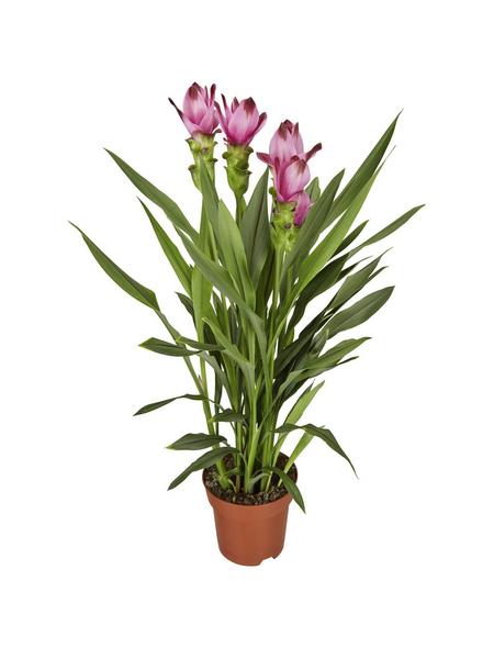 GARTENKRONE Safranwurz, Curcuma alismatifolia, Blütenfarbe: rosa