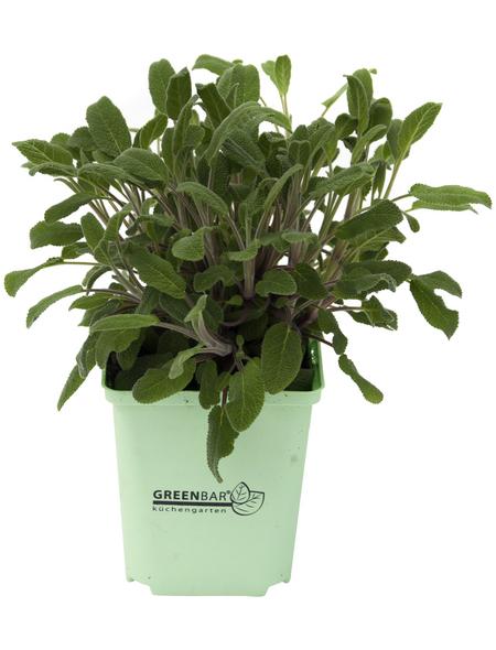 GREENBAR Salbei 3er Set, Salvia Officinalis, Blütenfarbe: blau