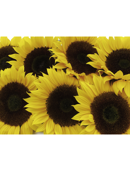 SAATGUT DILLMANN Samen Sonnenblume Giganteus