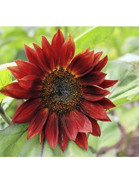 SAATGUT DILLMANN Samen Sonnenblume rot bio