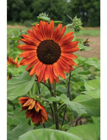 SAATGUT DILLMANN Samen Sonnenblume Velvet Queen bio