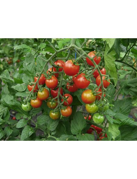 SAATGUT DILLMANN Samen Tomate Supersweet 100, F1 ungebeizt