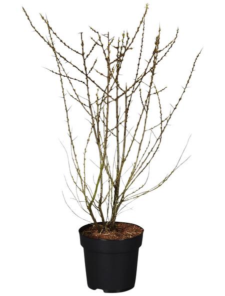GARTENKRONE Sanddorn, Hippophae rhamnoides »Leikora« Blüten: gelb, Früchte: orange, essbar