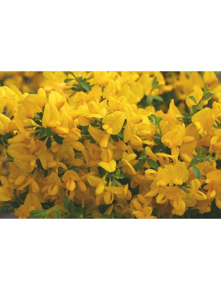 Sandginster, Genista pilosa »Vancouver Gold«, Blütenfarbe gelb